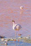 Flamingos, Laguna Colorada, Reserva Nacional De Fauna Andina Eduardo Avaroa, Los Lipez, Bolivia Photographic Print by Elzbieta Sekowska