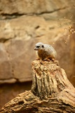 Suricate Photographic Print by  duallogic