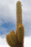 Cardon Cactus at Isla De Pescador, Bolivia Photographic Print by  javarman