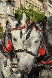 Horses in Carriage Photographic Print by  snoofek