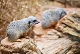 Meerkats Photographic Print by  duallogic