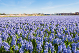Field with Blue Flowering Hyacinth Bulbs Photographic Print by Ruud Morijn