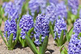 Blue Hyacinths Photographic Print by  Lenor