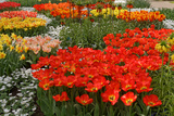 Ogres Full of Colorful Flowers, Tulips and Hyacinths. Horizontal. Photographic Print by  protechpr