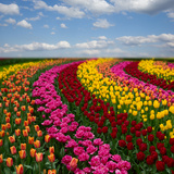 Dutch Colorful Tulips Fields in Sunny Day Photographic Print by  neirfy