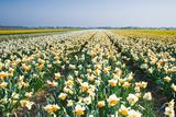 Colette2 - Field with White and Orange Daffodils - Fotografik Baskı