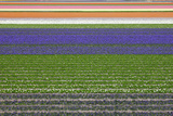 Colorful Fields of Tulips and Hyacinth in Netherland. Photographic Print by  kirilstanchev