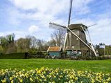 Tetyanka - Traditional Dutch Windmill with Daffodils Field Nearby, the Netherlands - Fotografik Baskı