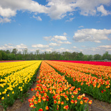 Dutch Yellow and Orange Tulip Fields in Sunny Day Photographic Print by  neirfy