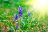 Bluebells Flower with Sunlight (Grape Hyacinth, Muscari Armeniacum) Photographic Print by  motorolka