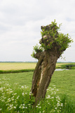 Typical Dutch Pollard Willow in Agricultural Landscape Photographic Print by  Ivonnewierink