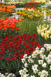 Ogres Full of Colorful Flowers, Tulips and Hyacinths. Vertical. Photographic Print by  protechpr