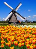 Dutch Windmills and Tulips Photographic Print by Jeni Foto