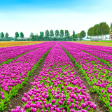 Tulip Blosssom Flowers Cultivation Field in Spring. Holland or Netherlands. Photographic Print by  stevanzz
