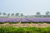 Dutch Spring Hyacinth Flowers Field Photographic Print by  neirfy