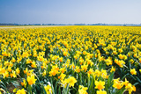 Field with Yellow Daffodils in April Photographic Print by  Colette2