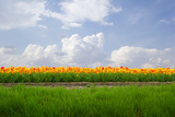 Dutch Tulip Field in Sunny Day Photographic Print by  neirfy