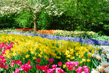 Colorful Springflowers and Blossom in Dutch Spring Garden 'Keukenhof' in Holland Stampa fotografica di  dzain