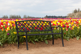 Bench in Tulip Field Photographic Print by  TamiFreed