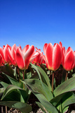 Closeup of Beautiful Dutch Tulip Flowers in Field Photographic Print by Sandra van der Steen
