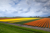 Rows of Orange and Yellow Tulip Fields Photographic Print by  catolla