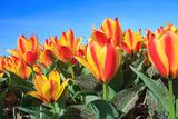 Closeup of Beautiful Dutch Tulip Flowers in Field Photographic Print by Sandra van der Steen