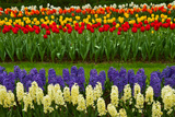 Stripes of Dutch Tulips and Hyacinth Photographic Print by  neirfy