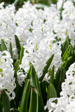 Field Full with White Hyacinths in Holland Photographic Print by  Lenor