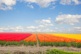 Dutch Yellow Tulip Fields in Sunny Day Photographic Print by  neirfy