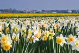 Colette2 - Daffodils in Springtime in close View - Fotografik Baskı