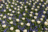 White Tulips with Blue Hyacinths View from the Top. Photographic Print by  protechpr