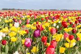 Field of Beautiful Colorful Tulips in the Netherlands Photographic Print by  kruwt