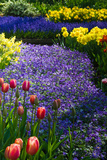 Colette2 - Blue Anemone with Daffodils and Tulips - Fotografik Baskı