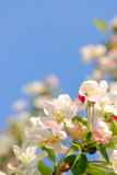 Apple Blossom on Blue Sky in Spring Garden 'Keukenhof', Holland Photographic Print by  dzain