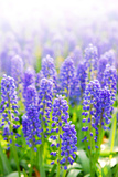 Blue Grape Hyacinths with Soft Focus and Shallow Dof in Spring Garden 'Keukenhof', Holland Photographic Print by  dzain