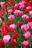 Tulpen Fotodruck von  oscarcwilliams