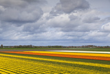 Tulip Fields in North Netherlands Photographic Print by  catolla