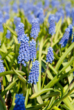Fields with Blue Grape Hyacinths Photographic Print by  Ivonnewierink