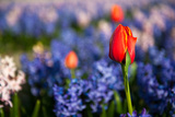 Red Tulips between the Hyacinths Photographic Print by  Ivonnewierink