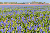 A Field Filled with Blue Grape Hyacinths Photographic Print by  Ivonnewierink