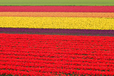 Tulip Meadow Photographic Print by  D.Rozhdestvenskiy