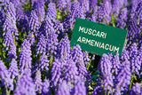 Blue Grape Hyacinth with Latin Name Sign 'Muscari Armeniacum' in Spring Garden 'Keukenhof', Holland Photographic Print by  dzain
