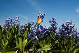 Purple Hyacinths Photographic Print by  Ivonnewierink