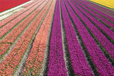 Tulip Field 33 Photographic Print by  ErikdeGraaf