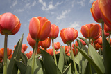 Tulip Field 16 Photographic Print by  ErikdeGraaf