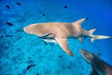 Lemon Sharks Swim among Fish in Pacific Ocean Photographic Print by BlueOrange Studio