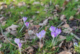 Lilac Flowering Crocuses in Wild Nature Photographic Print by Ruud Morijn