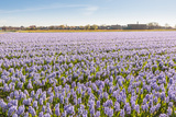 Field with Lilac Flowering Hyacinths Photographic Print by Ruud Morijn
