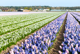 Purple and Pink Hyacinths in the Flower Bulb Fields in Holland Photographic Print by  Ivonnewierink