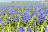 Blue Grape Hyacinths Photographic Print by  Ivonnewierink